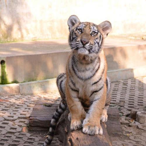 Jeune Tigre du Tiger Kingdom de Chiang Mai