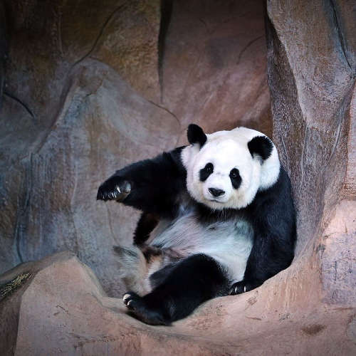 Panda du Zoo