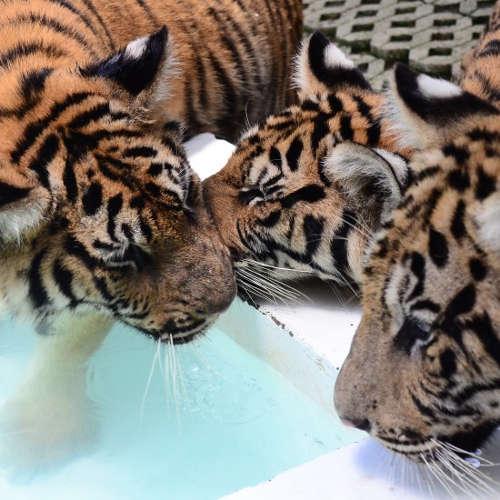 Que dire de plus? Magnifiques tigres..